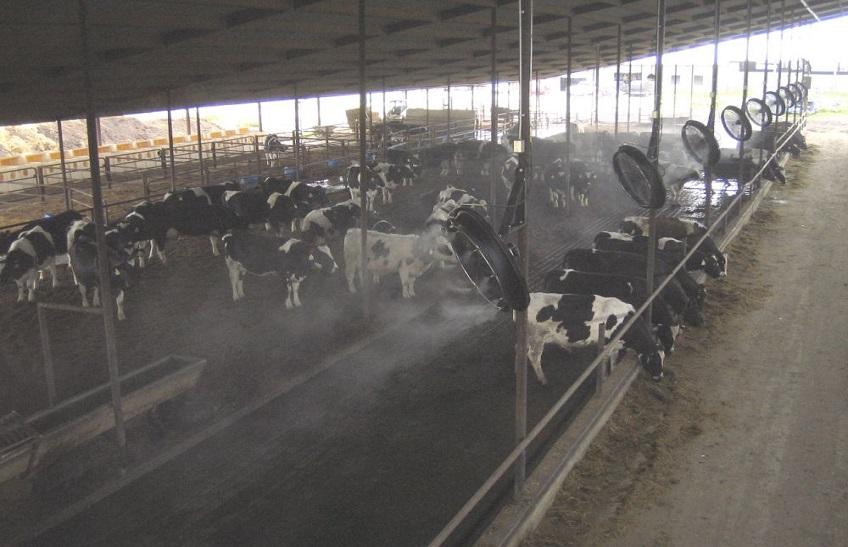 مزایای خنک کردن گاو