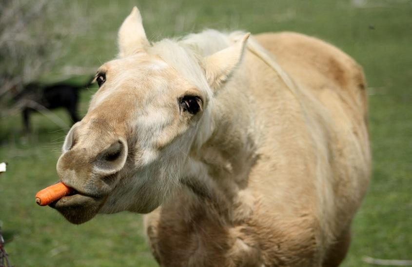 تغذیه اسبها با میوه و سبزیجات