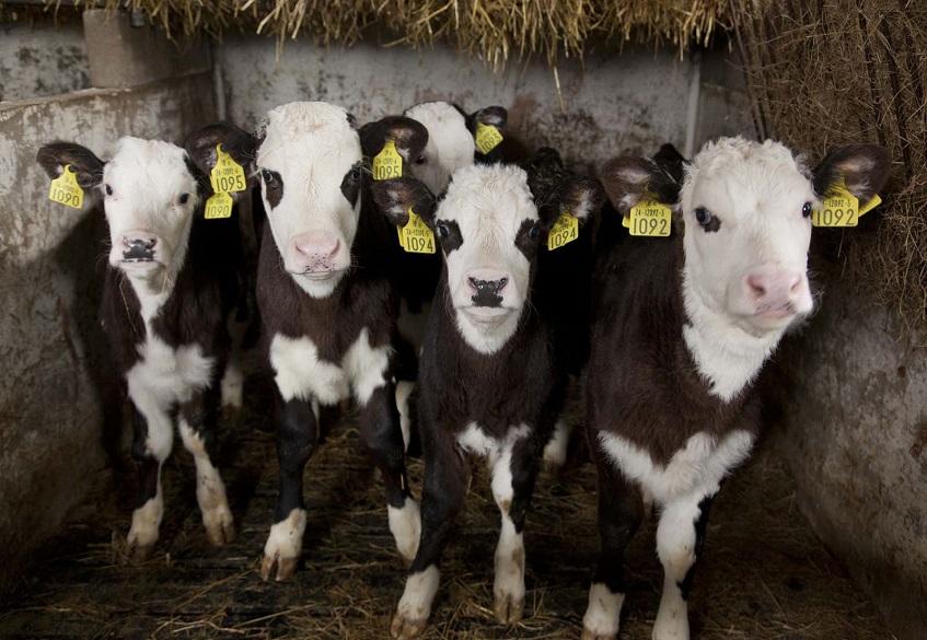 رسیدن به اهداف رشد در گوساله ها