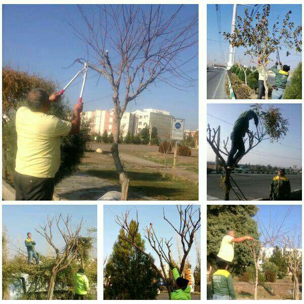 اجرای عملیات هرس زمستانه درختان سطح شهر پرند
