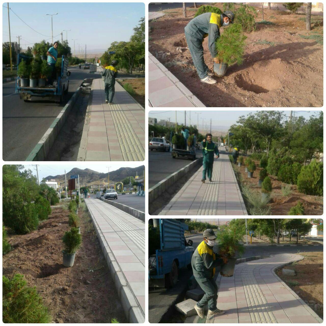 کاشت درخت کاج مشهد در بلوار علامه طباطبایی