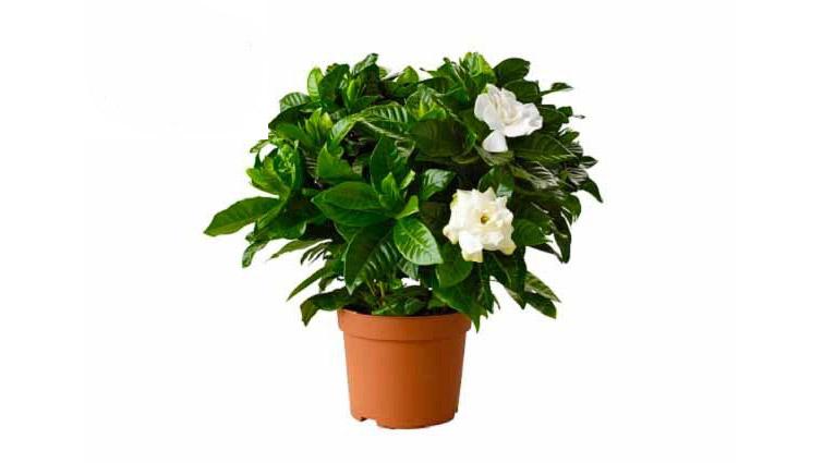 گیاه گاردنیا