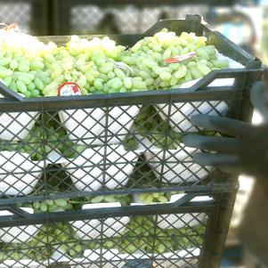 بسته بندی صادراتی انگور (بسپار فوم)
