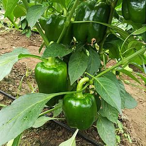 فلفل دلمه ای سبز صادراتی (جویبار)