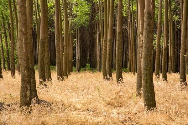 چوب صنوبر چه ویژگی ها و کاربردی دارد؟؟
