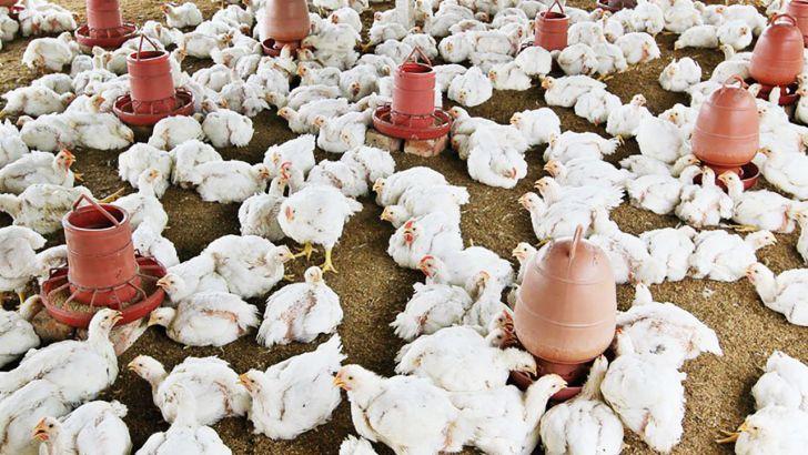 هیچ کمبودی در بخش تامین مرغ بازار مصرف وجود ندارد
