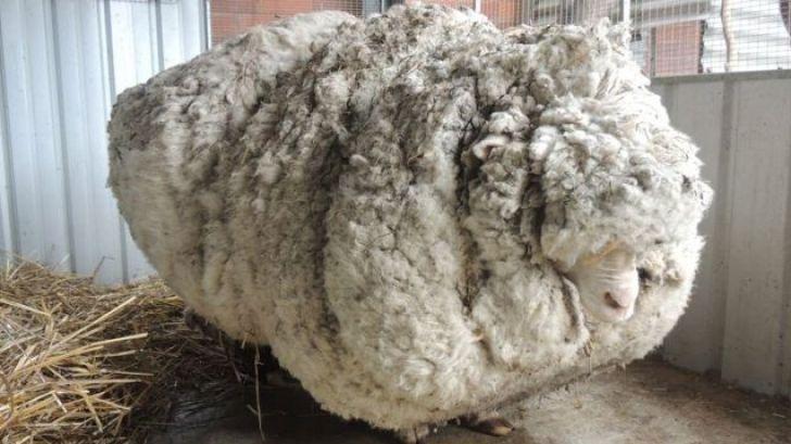 گوسفند مشهور استرالیا مرد
