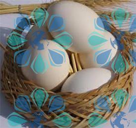 تعیین حقوق ورودی تخم مرغ خوراکی – تهران پیشرو – شرکت ترخیص کالا