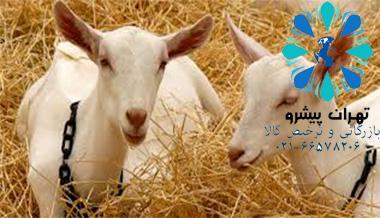 بخشنامه 79 سال 97 - واردات گوسفند و بز مولد نژاد خالص